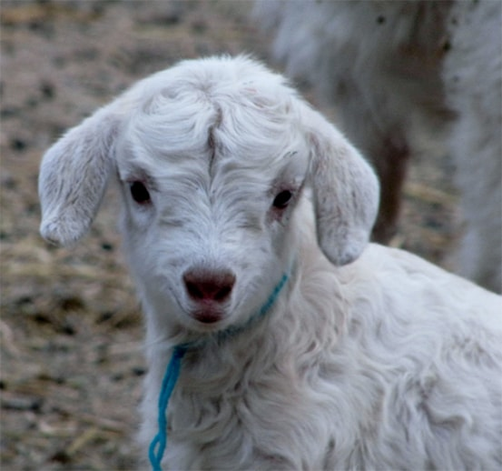 Baby Cashmere Goat